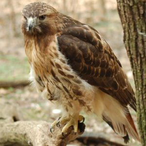 hocking-hills-cabin-rentals-dot-calm-at-boulders-edge-red-tail-hawk